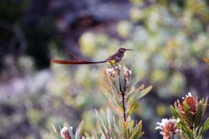 Сахарная птичка, великолепный хвост которой значительно превышает размеры самой хозяйки.
