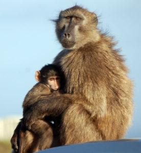 Изучающий взгляд бабуина с детенышем обычно далек от дружелюбия.