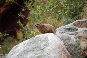 Извечные обитатели этих мест – rock dassie (или hyrax).