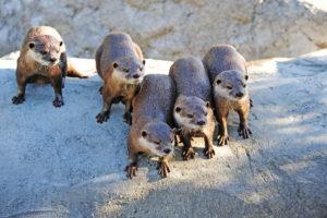 Otters (выдры). Эти удивительные создания - самые сплочённые!