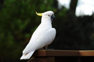 Самые частые гости - это белые красавцы-попугаи какаду.