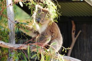 Ленивая коала.