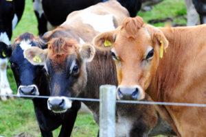 Но,самые милашки, все-таки пожалуй,это местные Ново-зеландские коровки с бирками в ушах вместо сережек.