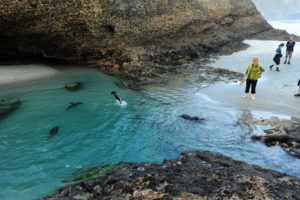 Морские котики в некоторых местах практически не боятся людей и продолжают резвиться в свое удовольствие,не смотря на наше присутствие.