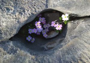 И в камнях растут цветы...