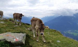 Этот тур пользуется огромной популярностью у местных коров.